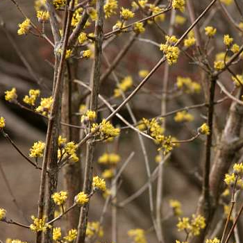 Dogwood-Yellow Cornel